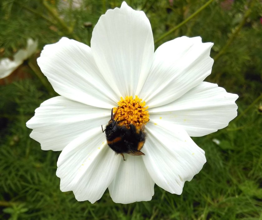Cosmos flower with bee