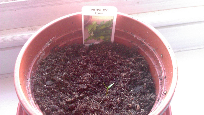 A Parsley 'Laura' seedling in a pot