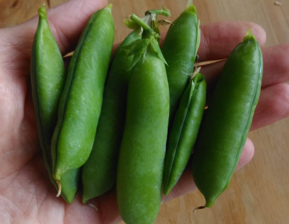 Handful of Peas 'Alderman'
