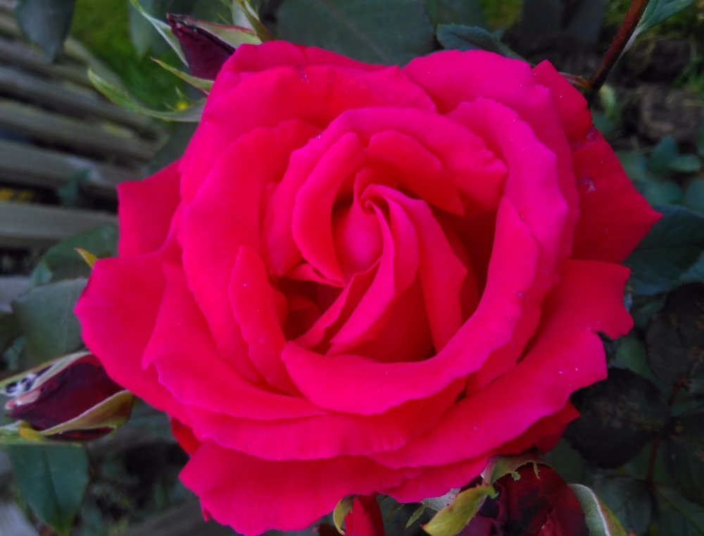Rose 'Ernest H Morse' on flower