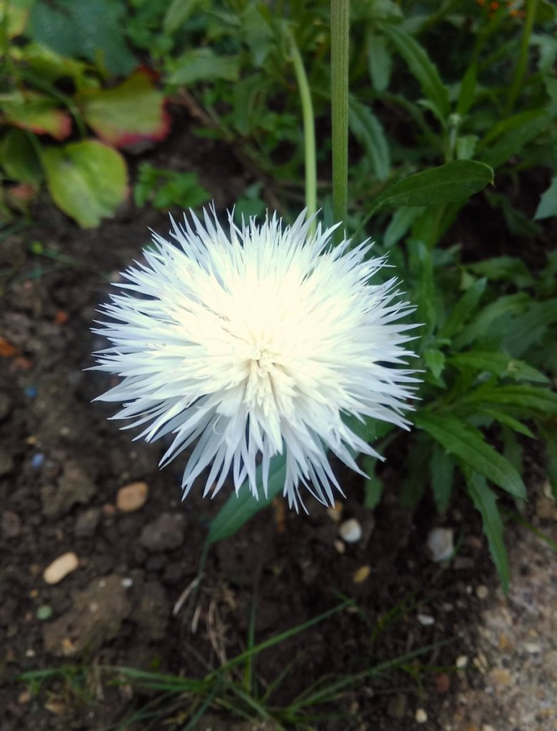 A white Sweet Sultan 'Mixed' flower.