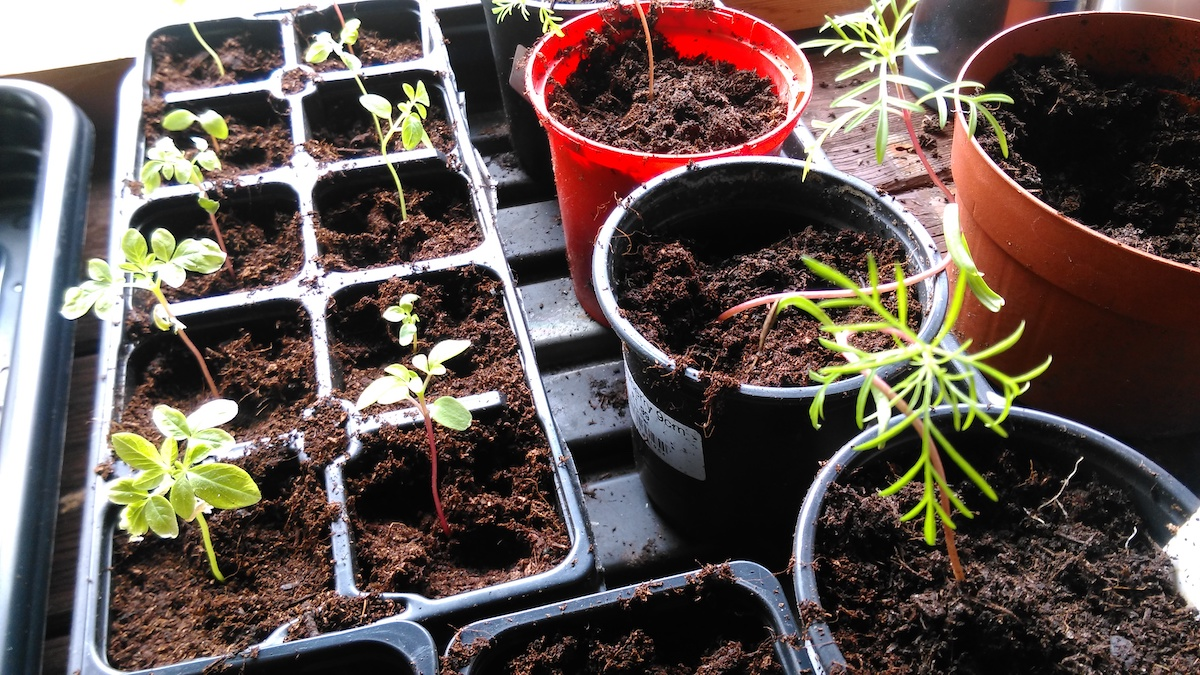 Cleome ' ' seedlings (left) with Cosmos 'Seashells Mixed'