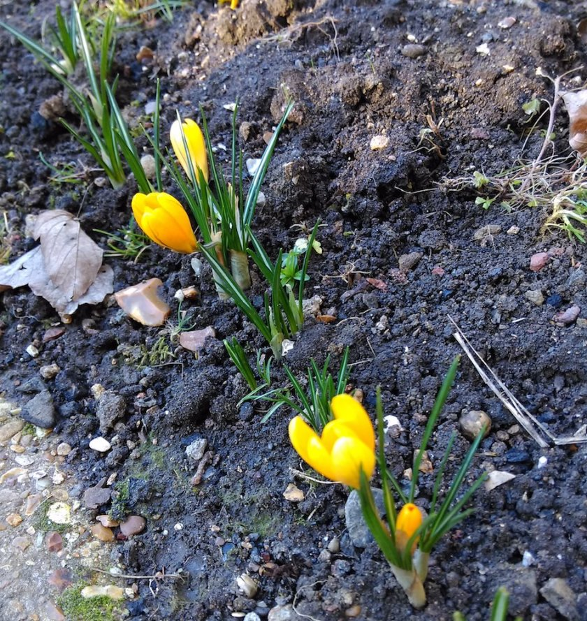Yellow Crocuses on flower before the snow.