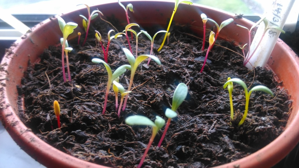 Swiss Chard 'Bright Lights' seedlings