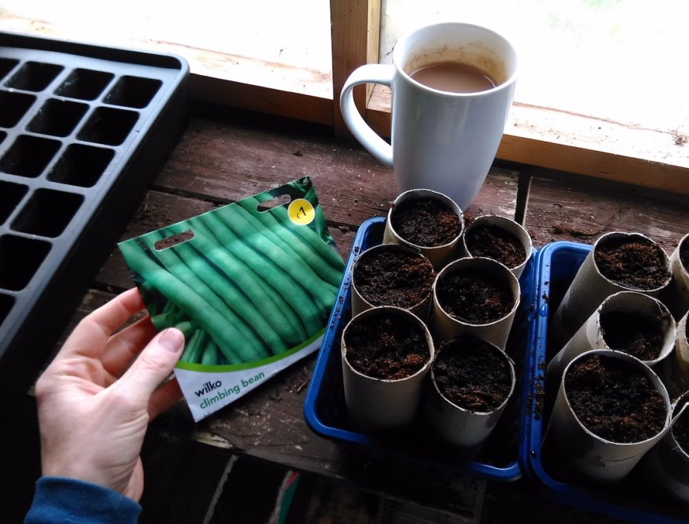 Sowing french beans in toilet rolls