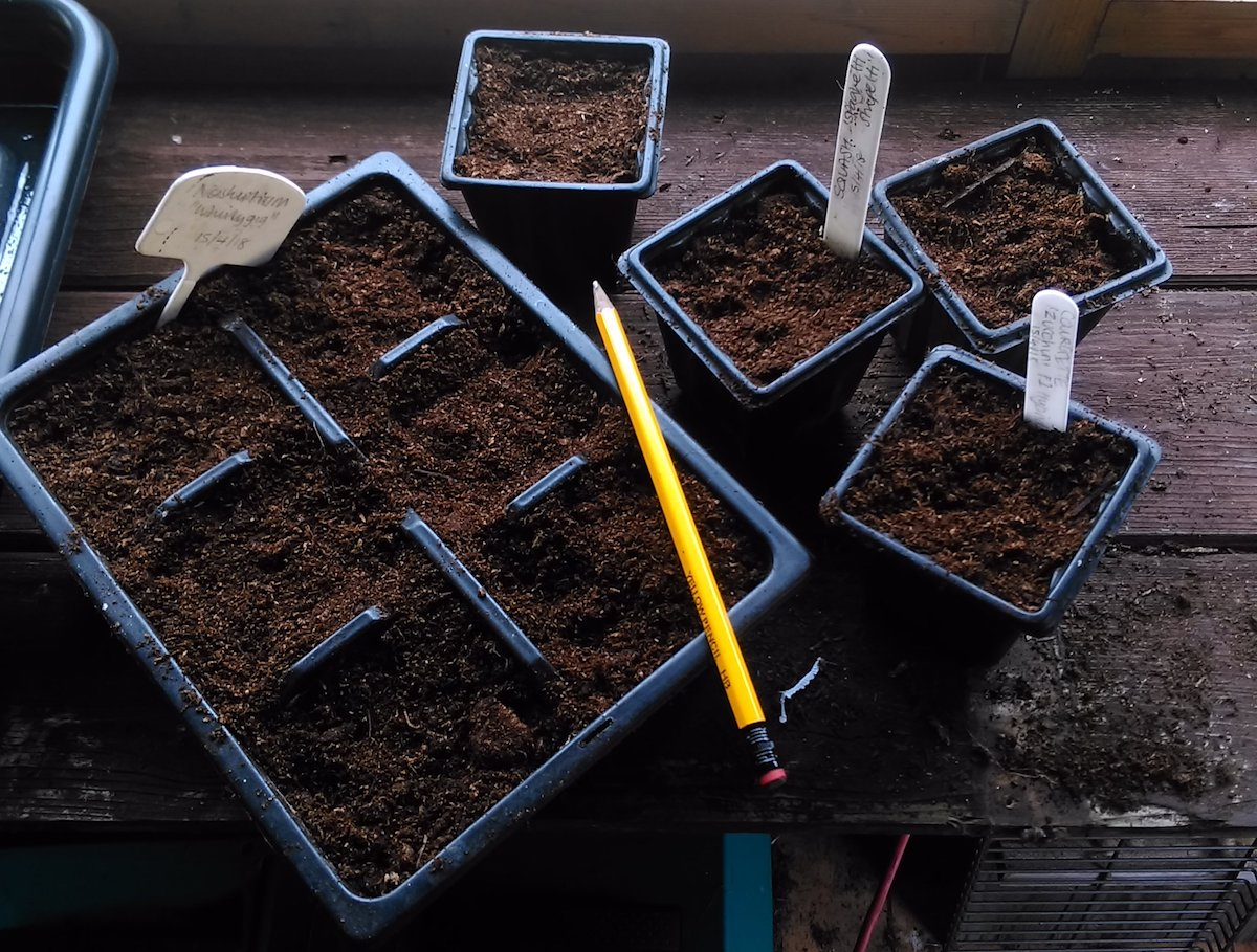 Sowing Courgette, Squash, and Nasturtium seeds