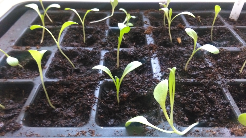 Sweet Sultan 'Mixed' seedlings all pricked out