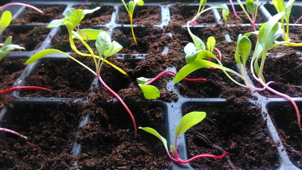 Most of the Swiss Chard 'Bright Lights' seedlings pricked out