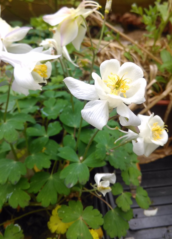 Aquilegia Spring Magic White plant