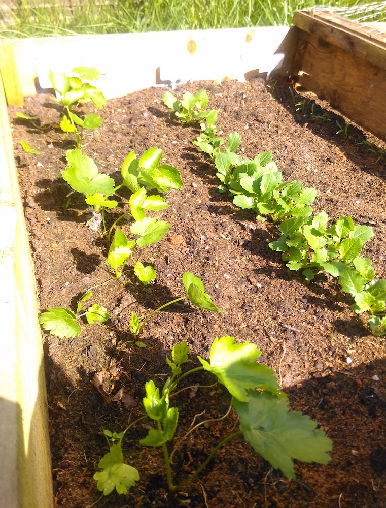 Parsnip and Turnip plants in a raised bed