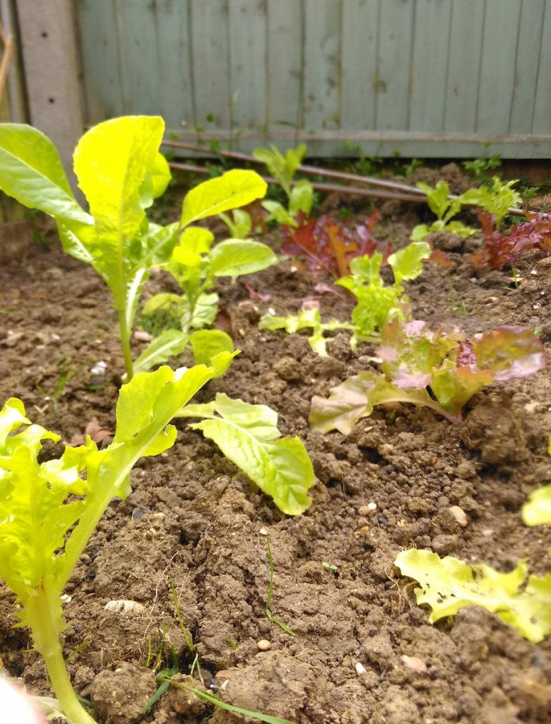 Lettuces planted out in garden