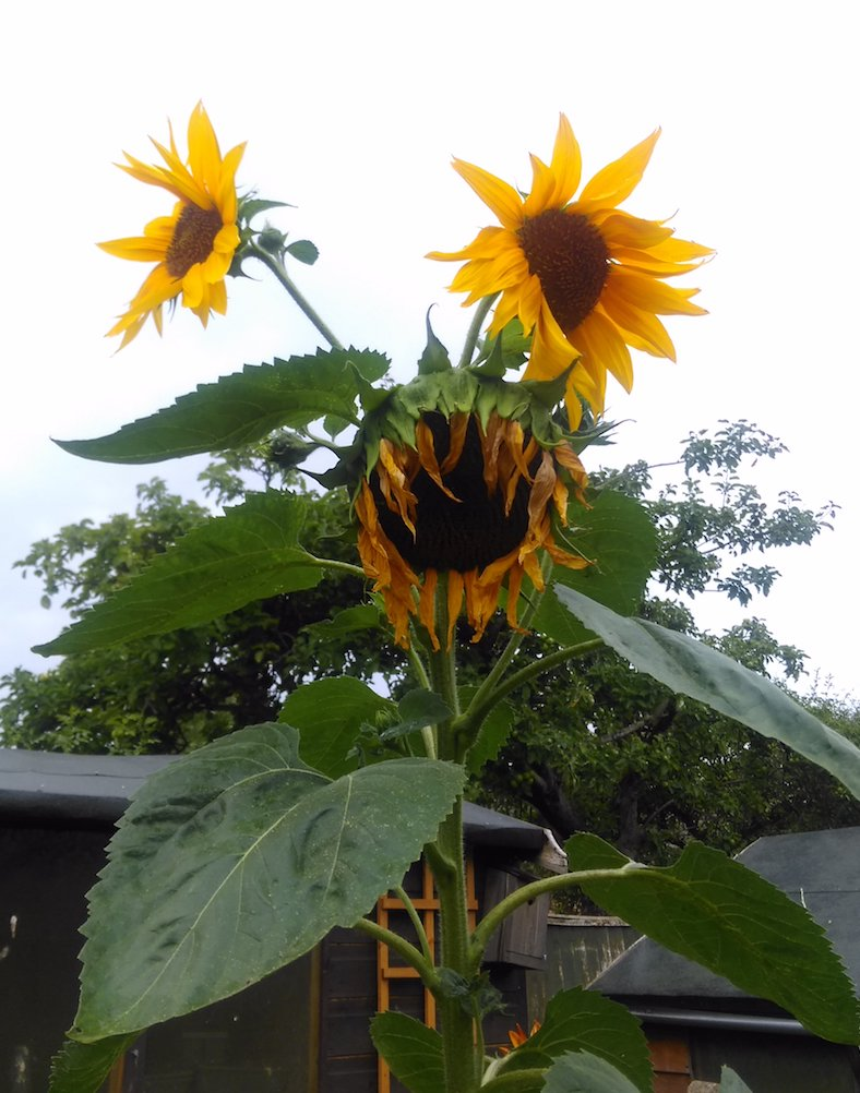 Alien Sunflower