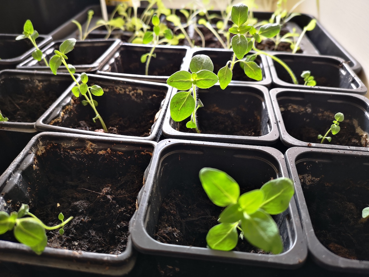 Antirrhinum 'Chuckles' seedlings potted on