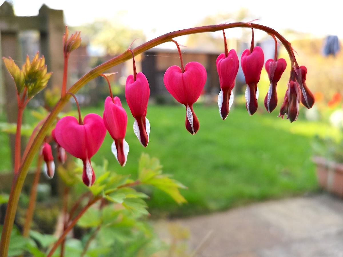 Dicentra Spectabilis 'Bleeding Heart' on flower just 3 weeks later.
