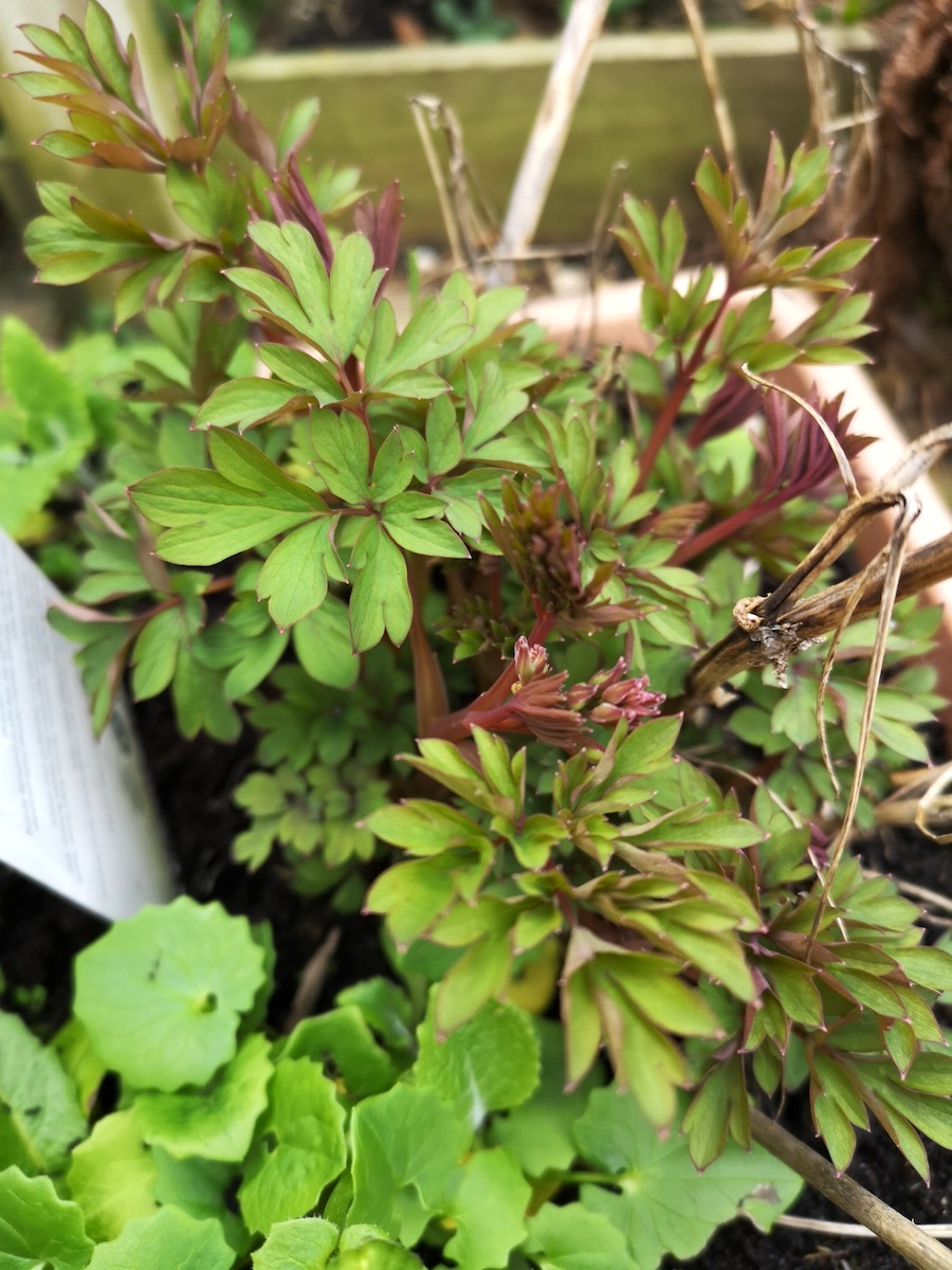 The Dicentra Spectabilis 'Bleeding Heart' emerging from the pot.