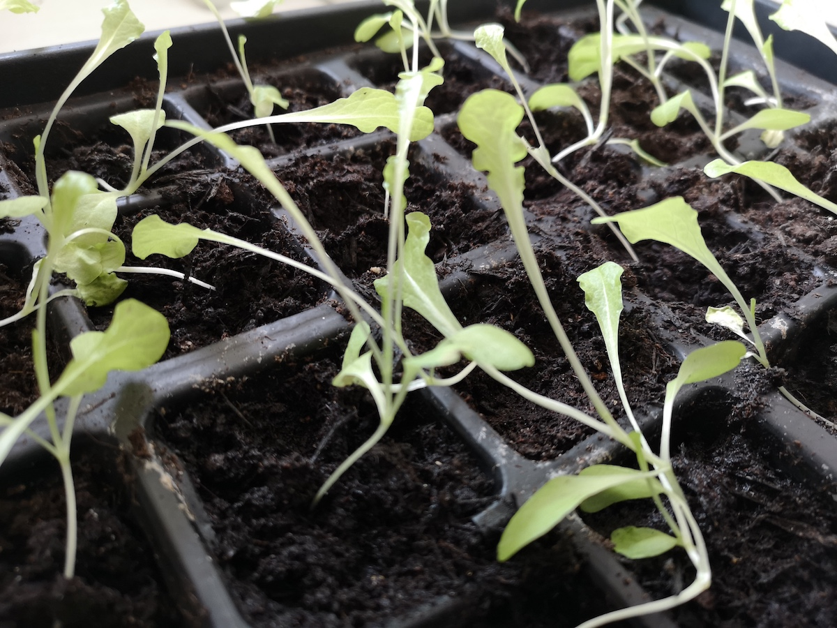 Lettuce 'OutREDgeous' seedlings potted on