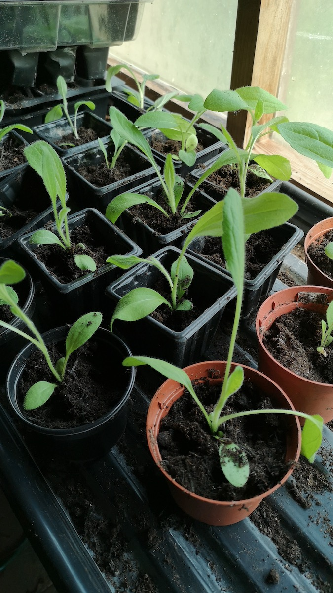 Rudbeckia 'Marmalade' potted on
