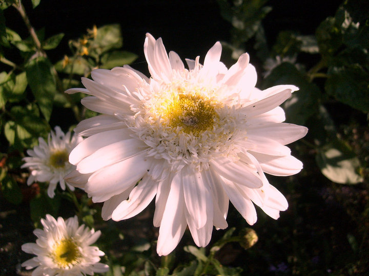 A white Chrysanthemum flowering in the shade.
