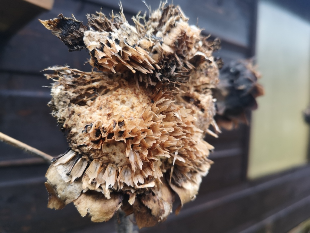 A sunflower seed head in winter