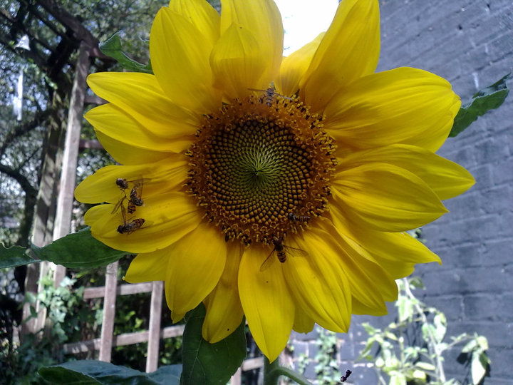 Sunflower covered in hoverflies