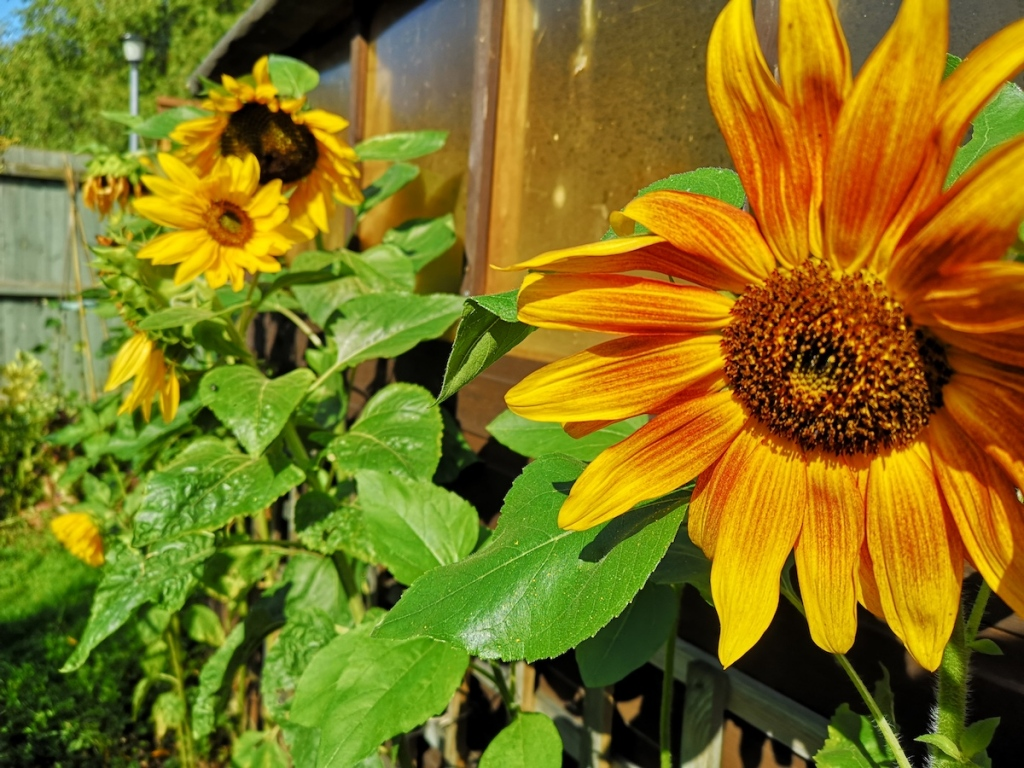 A row of transplanted self-sown sunflowers in the sunshine