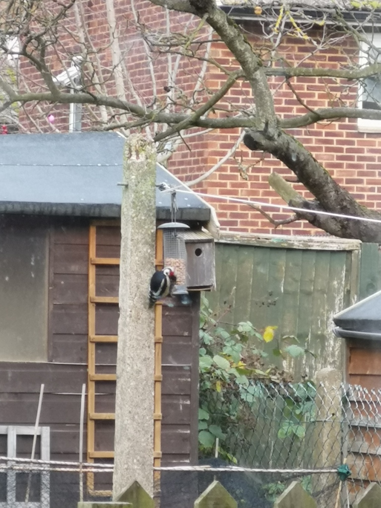 A woodpecker eating peanuts from a garden feeder.