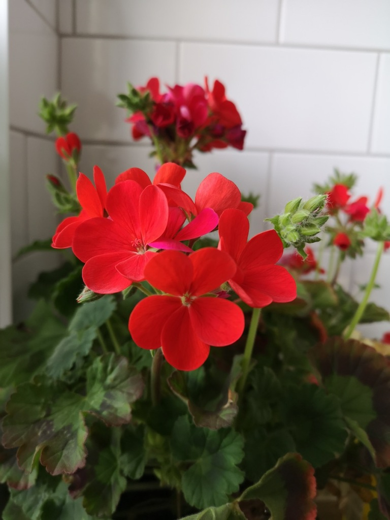 Geranium 'Red' on flower.