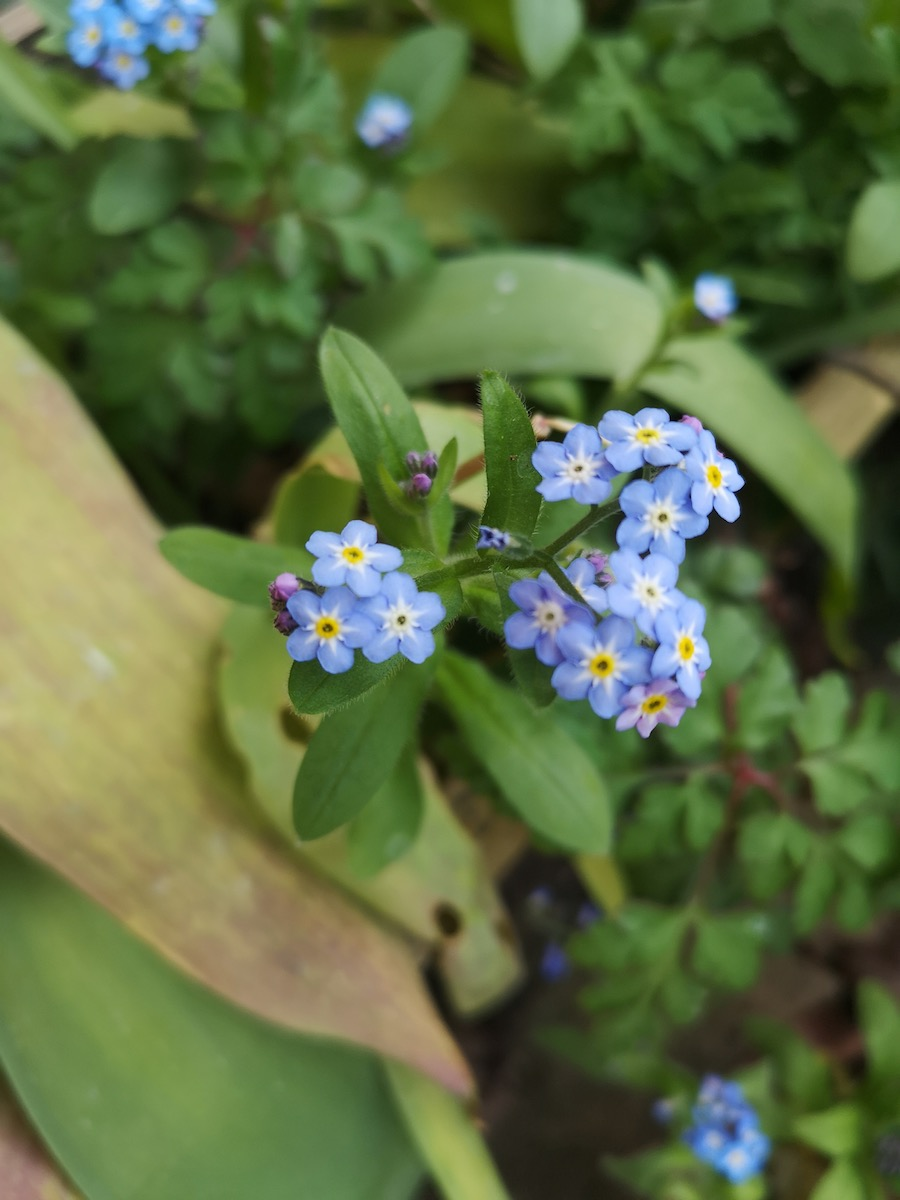 Forget-Me-Not on flower