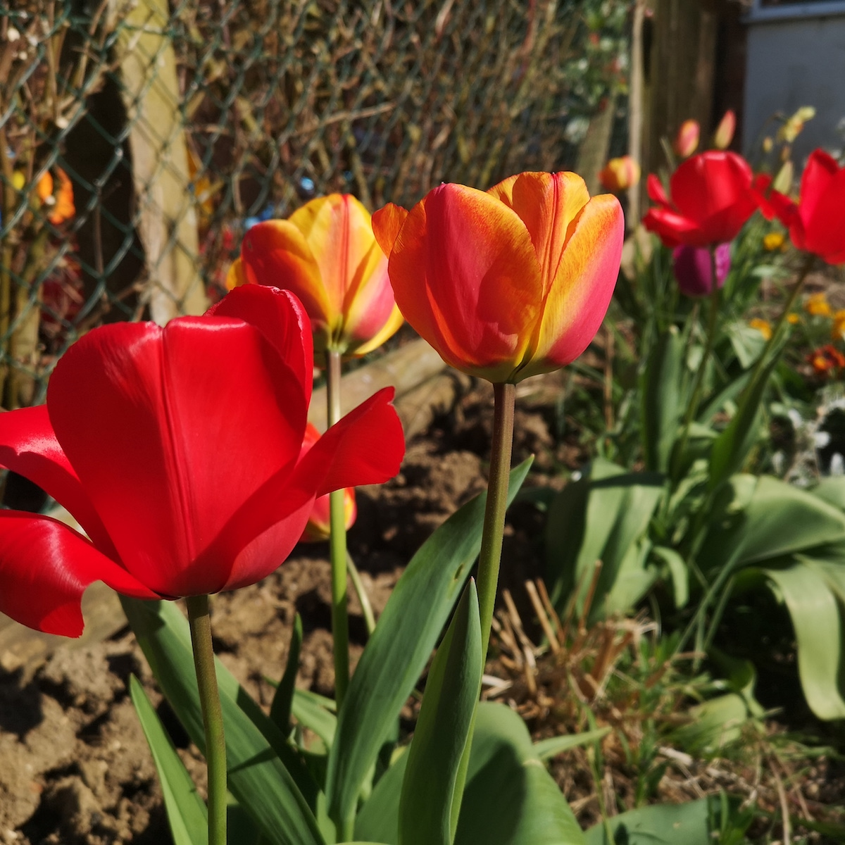 A row of mixed tulips