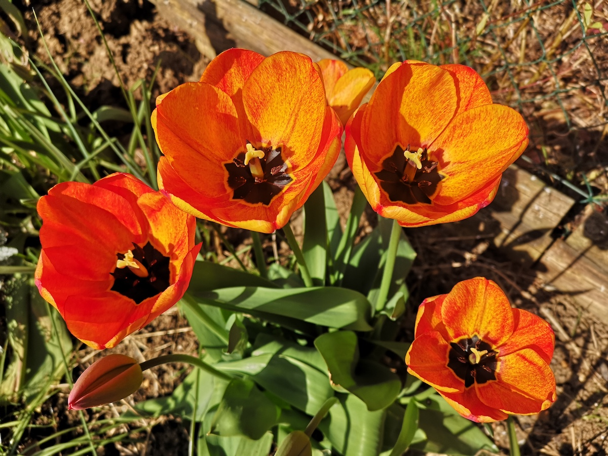 Some orangey-red tulips bathing in the sunshine.